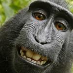 Может ли обезьяна быть обладателем авторских прав? Сделанные макакой селфи стали предметом судебного спора в США