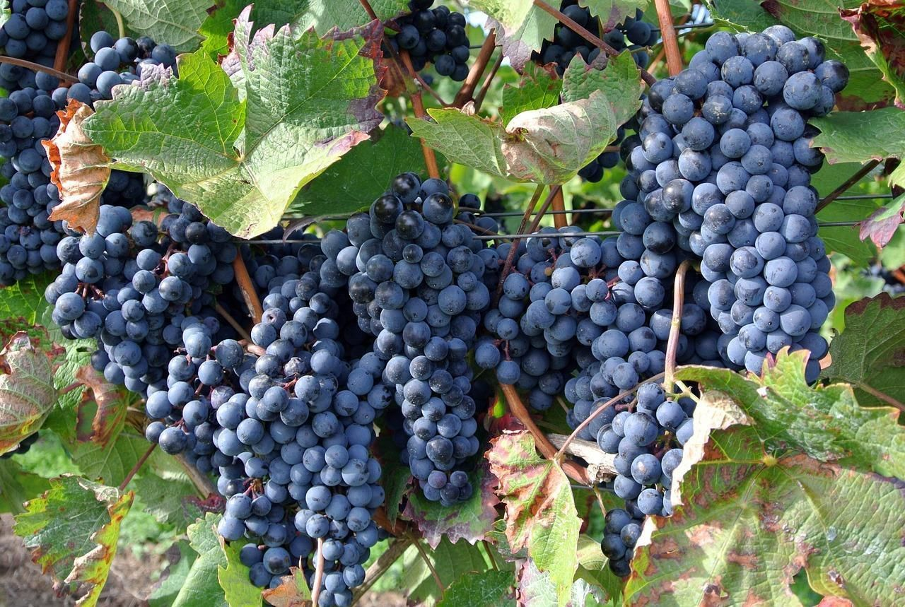 Виноград сорта Vitis Vinifera